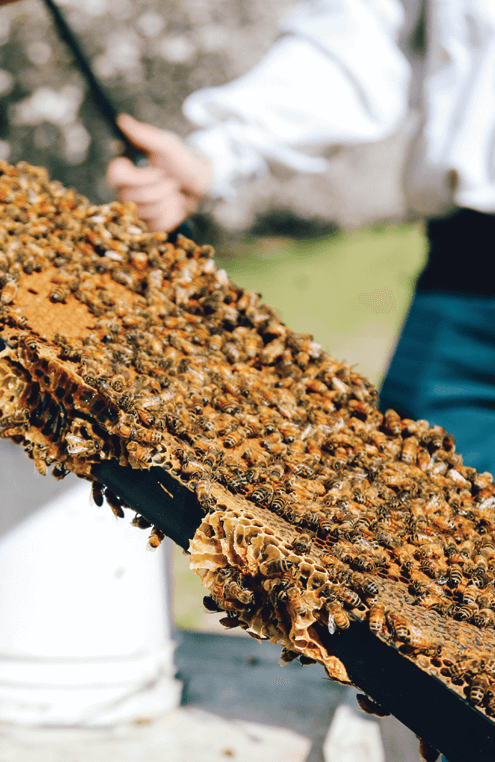 Bees on large pieces of honeycomb in a rectangular tray in an outdoor setting
