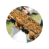 Icon thumbnail of bees on large pieces of honeycomb in a rectangular tray in an outdoor setting
